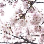 桜満開!井之頭公園でお花見してきた