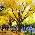 神宮外苑のいちょう並木を見てきた
